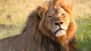 Cecil the lion at Hwange National Park