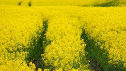 rapeseed_biofuel