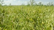 Lentils growing in field. Beach, North Dakota (USA). Photo credit: USDA Natural Resources Conservation Service