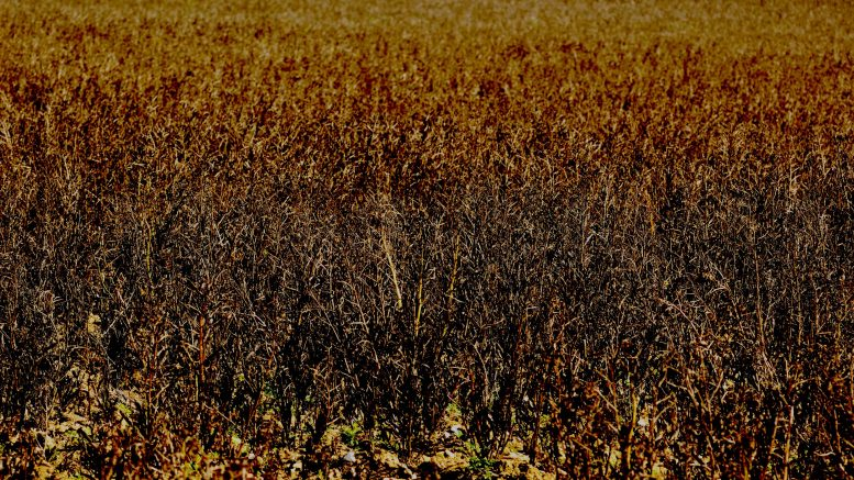 A field of dead plants, seen from Roundwood Lane, Hertfordshire. Photo credit. Gary Houston